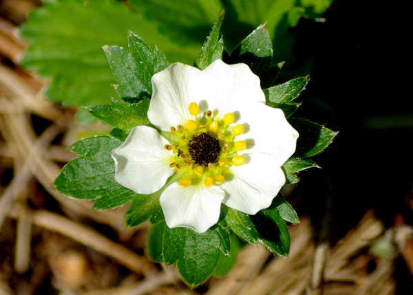A strawberry flower that has suffered frost damage