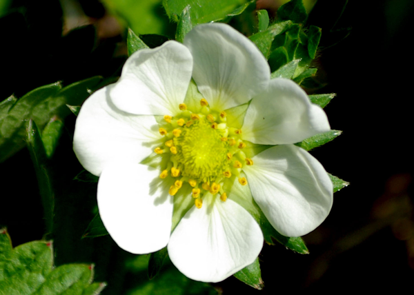 A healthy strawberry blossom